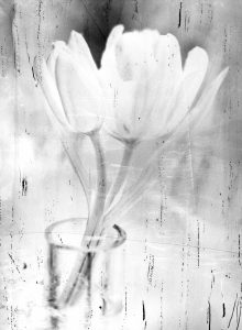 Tulip 1 | Csilla Szabo | available artwork